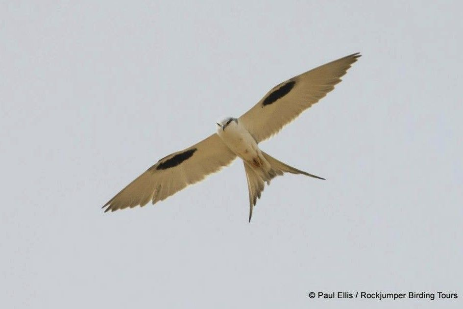 From Rock Jumper Bird Tours: Swallow-tailed Kite
