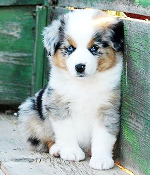 Miniature American Shepherd Price Temperament Life Span