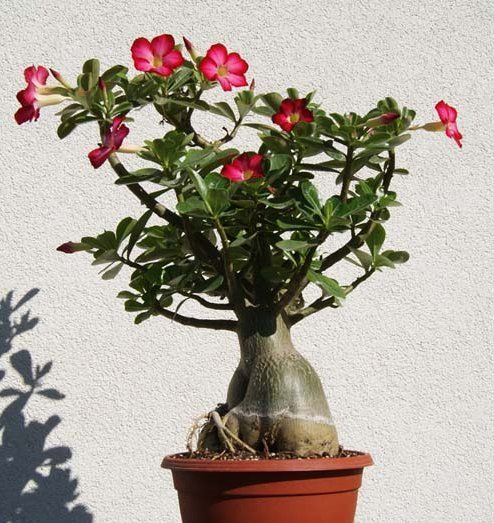 Desert Rose Bonsai Mixed Colors Adenium Obesum - 12 Seeds | garden