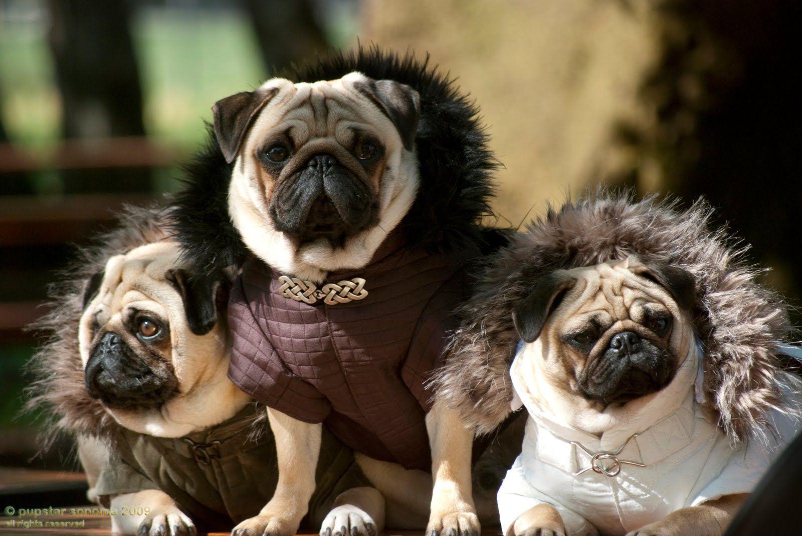 High fashion Pugs in Valentino.....