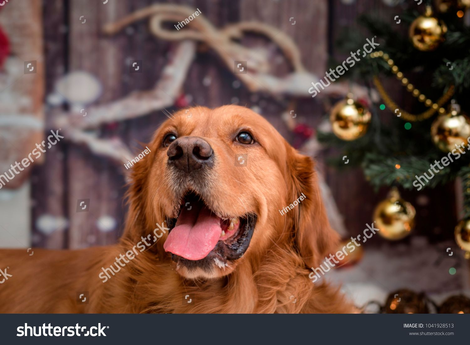 Golden Retriever Dog On New Year Background With Christmas Tree