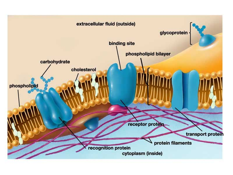 this is the cell membrane it covers the outer boundaries on cell wall function id=88613