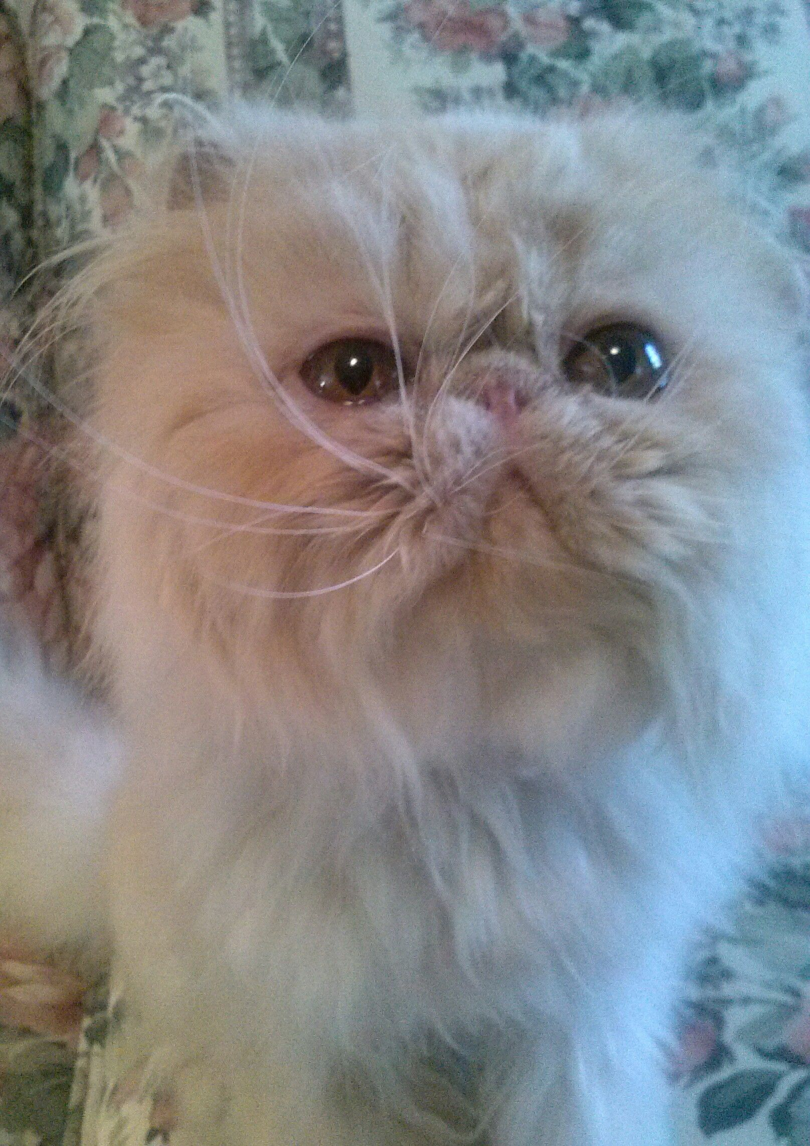 Sweetmist Persiansavailable Persian cat, Persian, Cats