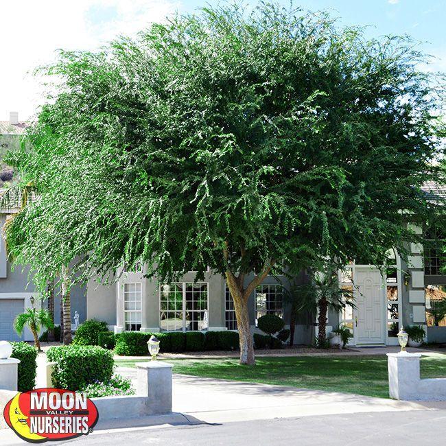 Landscaping under elm trees : Elm ulmus parvifolia landscaping gardening trees