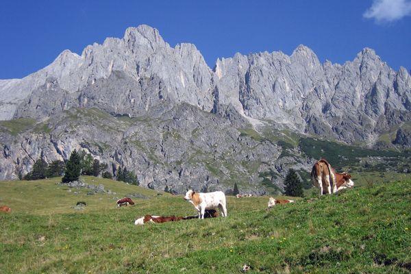 Cows in the Hochkönig Area, Salzburg, Austria - Kühe vor der Kulisse des Hochkönigs, Salzburg, Österreich