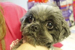 Adopt Cookie On Shih Tzu Dog Pets Dogs