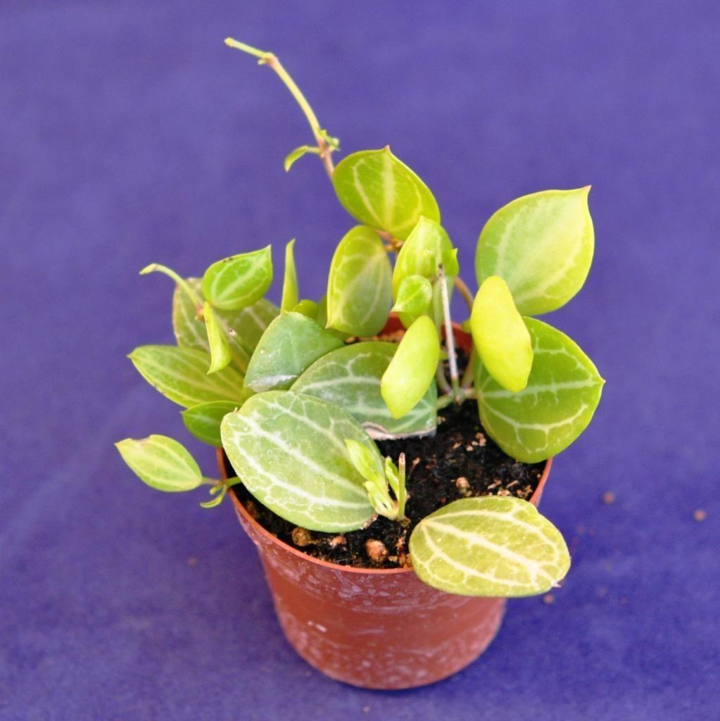 Live Terrarium Foliage Plant Dischidia Ovata Watermelon Plant
