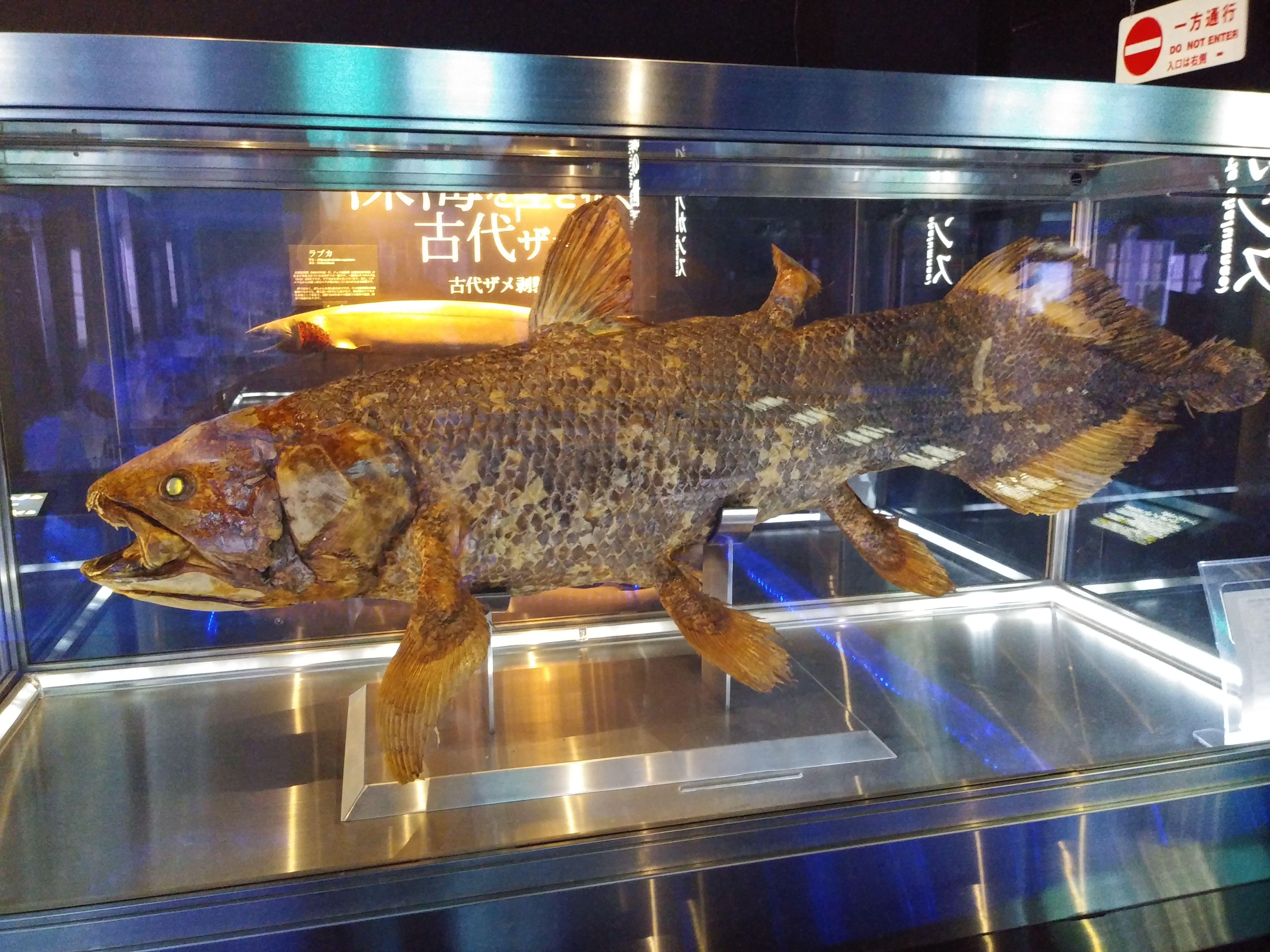 沼津港深海水族館 シーラカンス剥製 剥製 シーラカンス 生き物