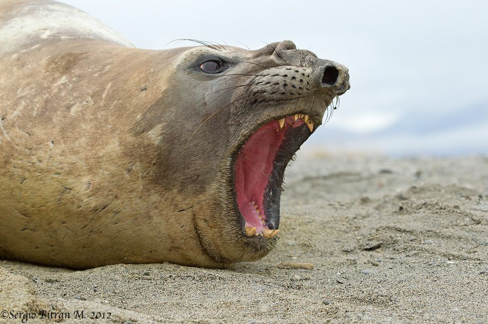 The elephant seal 4 класс