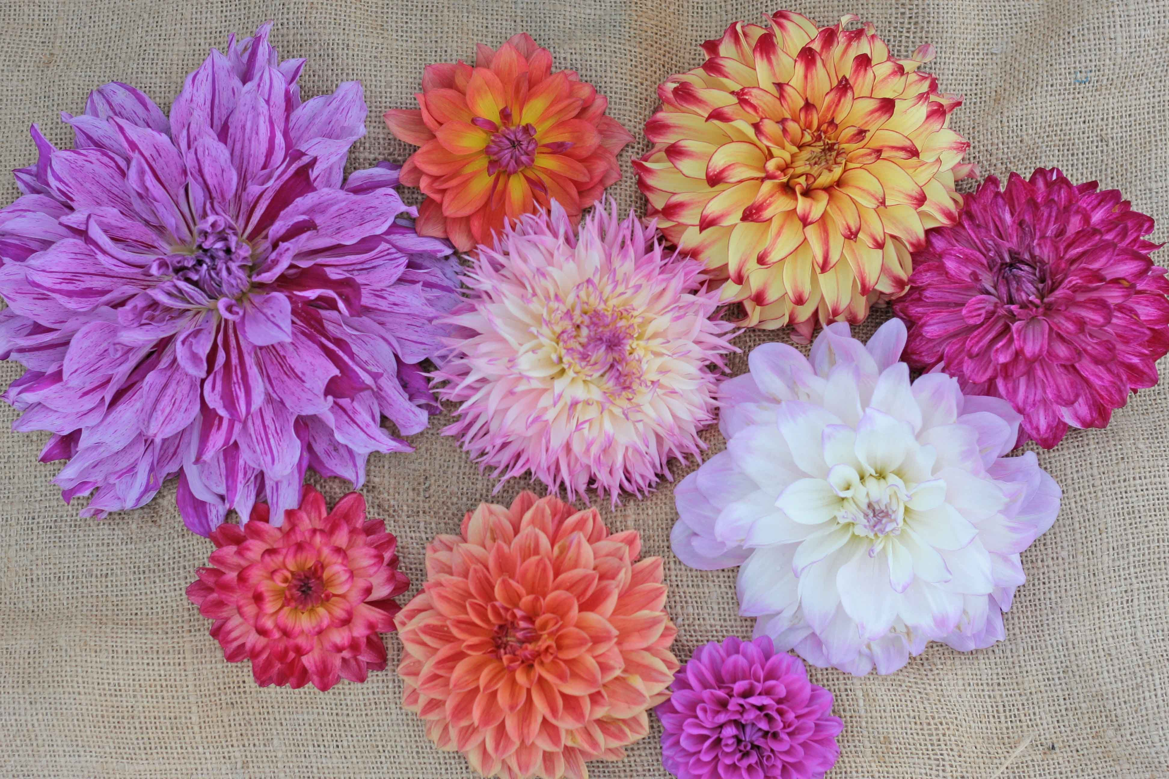 Beautifull Mix Of Dahlias Dahlias Have So Many Different Colors