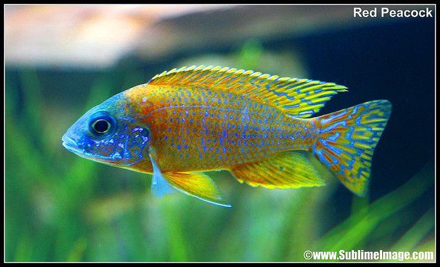 Cichlid Tropical Fish Tanks Fresh Water Fish Tank Cichlids