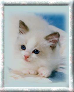 Bluepoint Bicolor Ragdoll Kitten Ragdoll Kitten Ragdoll Cat