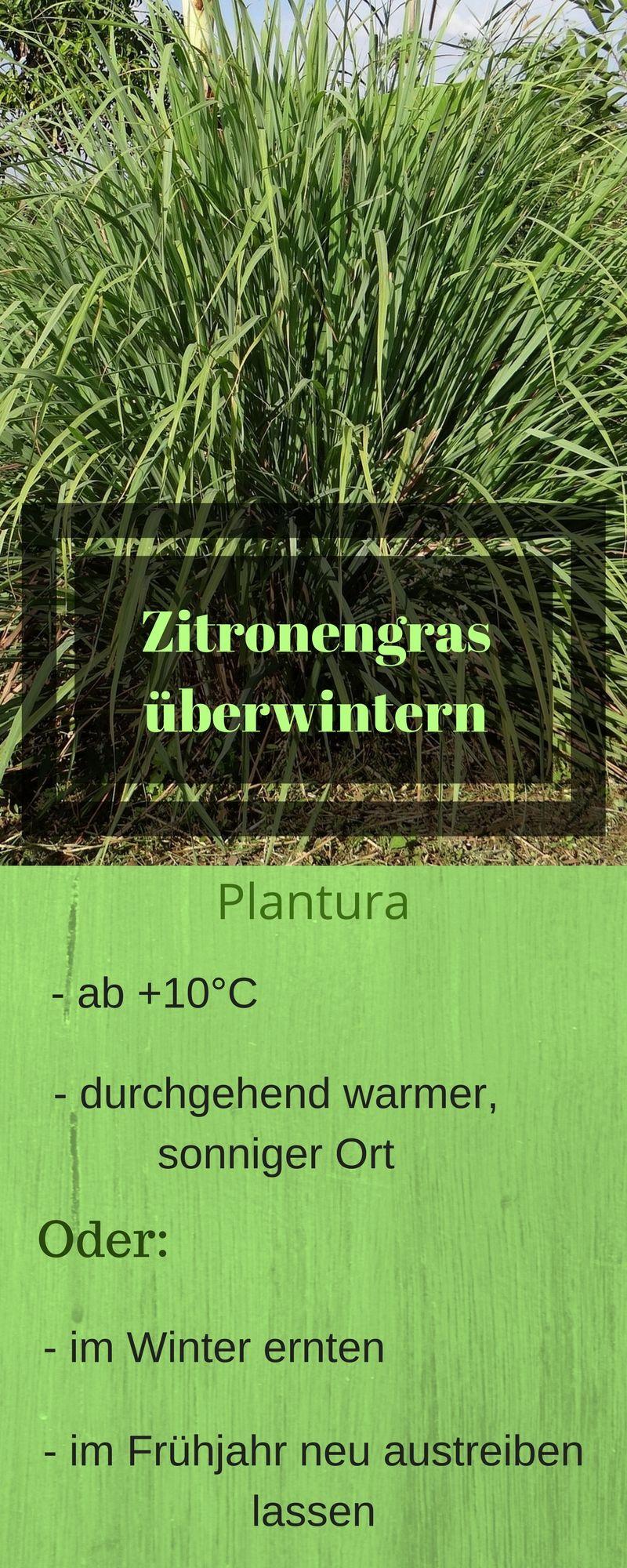 Zitronengras Pflegen Pflanzen Schneiden Uberwintern Krauter Anpflanzen Zitronengras Und Gras
