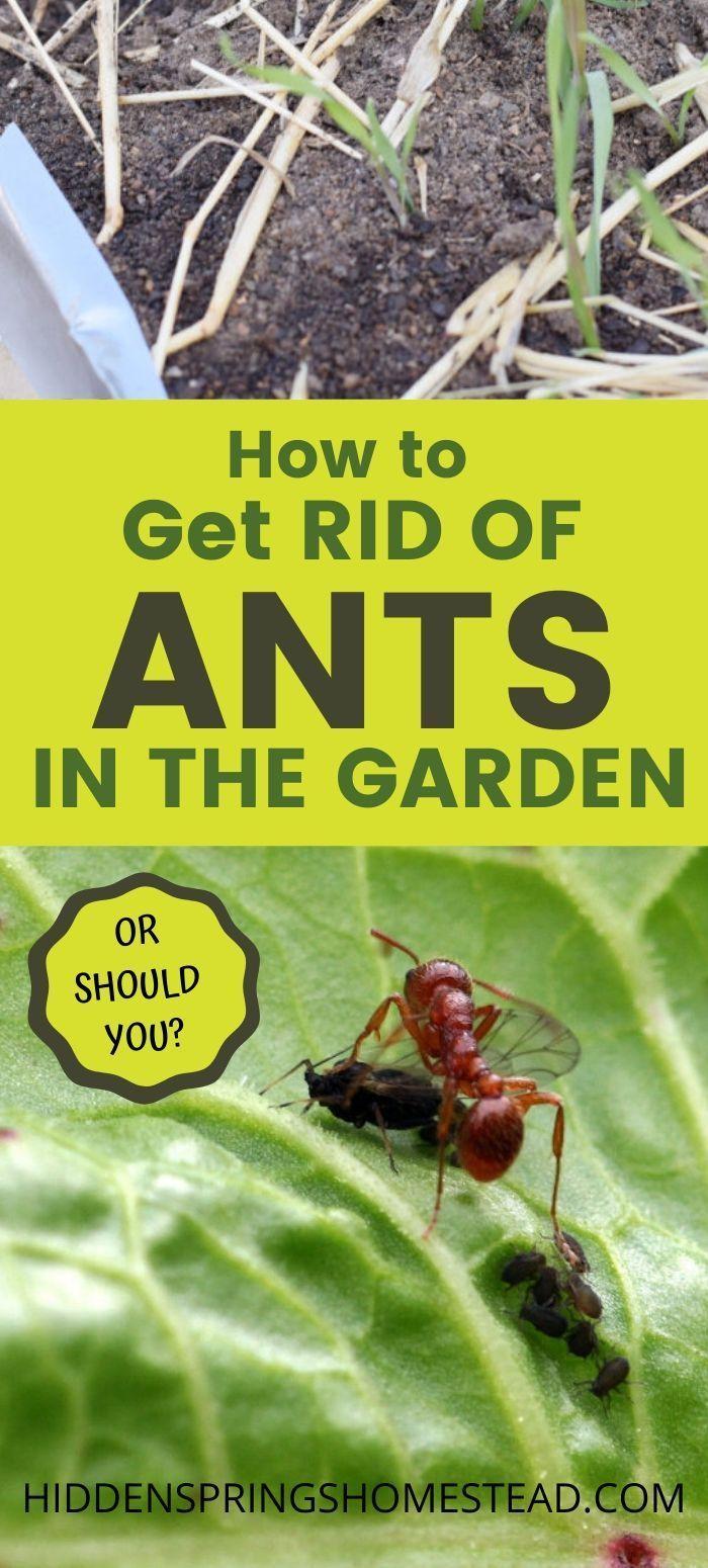 7 Ways To Get Rid Of Ants In The Garden Naturally Get Rid Of Ants Rid Of Ants Ants In Garden