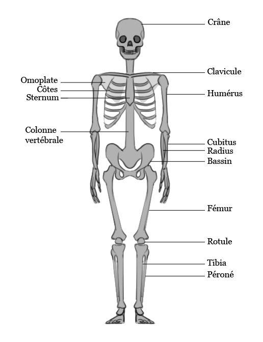 Une Version Simplifie Du Squelette Humain