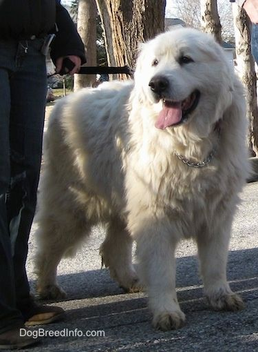 A Panting Great Pyrenees Is Standing In A Street Next To A Person