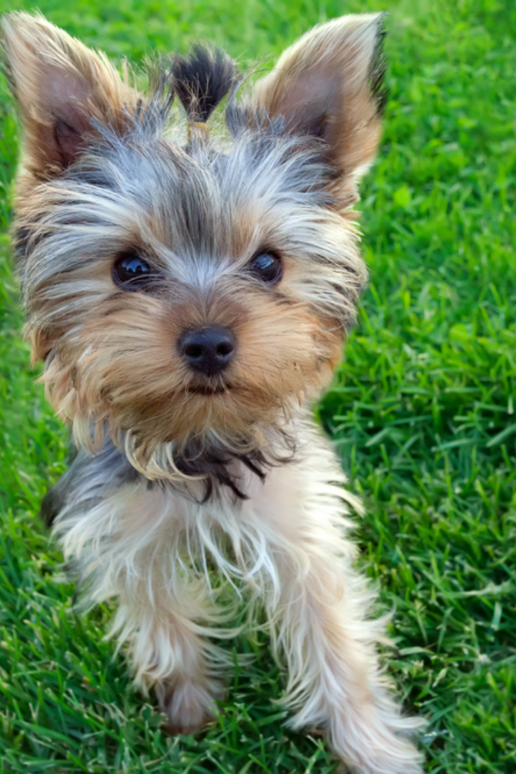 Cute Yorkshire Terrier Puppy 4 Months Old Standing In The Grass Yorkshireterrier Yorkshire Terrier Puppies Norwich Terrier Scottish Terrier Puppy