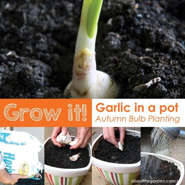 autumn vegetable grow it garlic in a pot blub planting australia garden diy. Black Bedroom Furniture Sets. Home Design Ideas