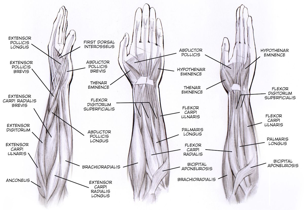 Muscles In Forearm And Hand Experiment Signal