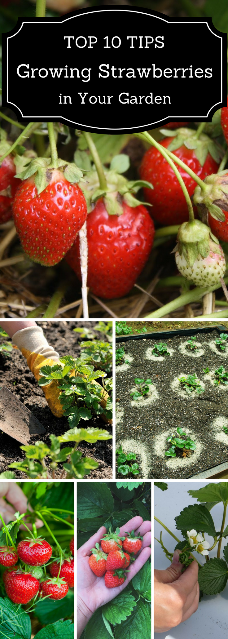Top 10 tips on growing strawberries in your garden for Jardineria al aire libre casa pendiente