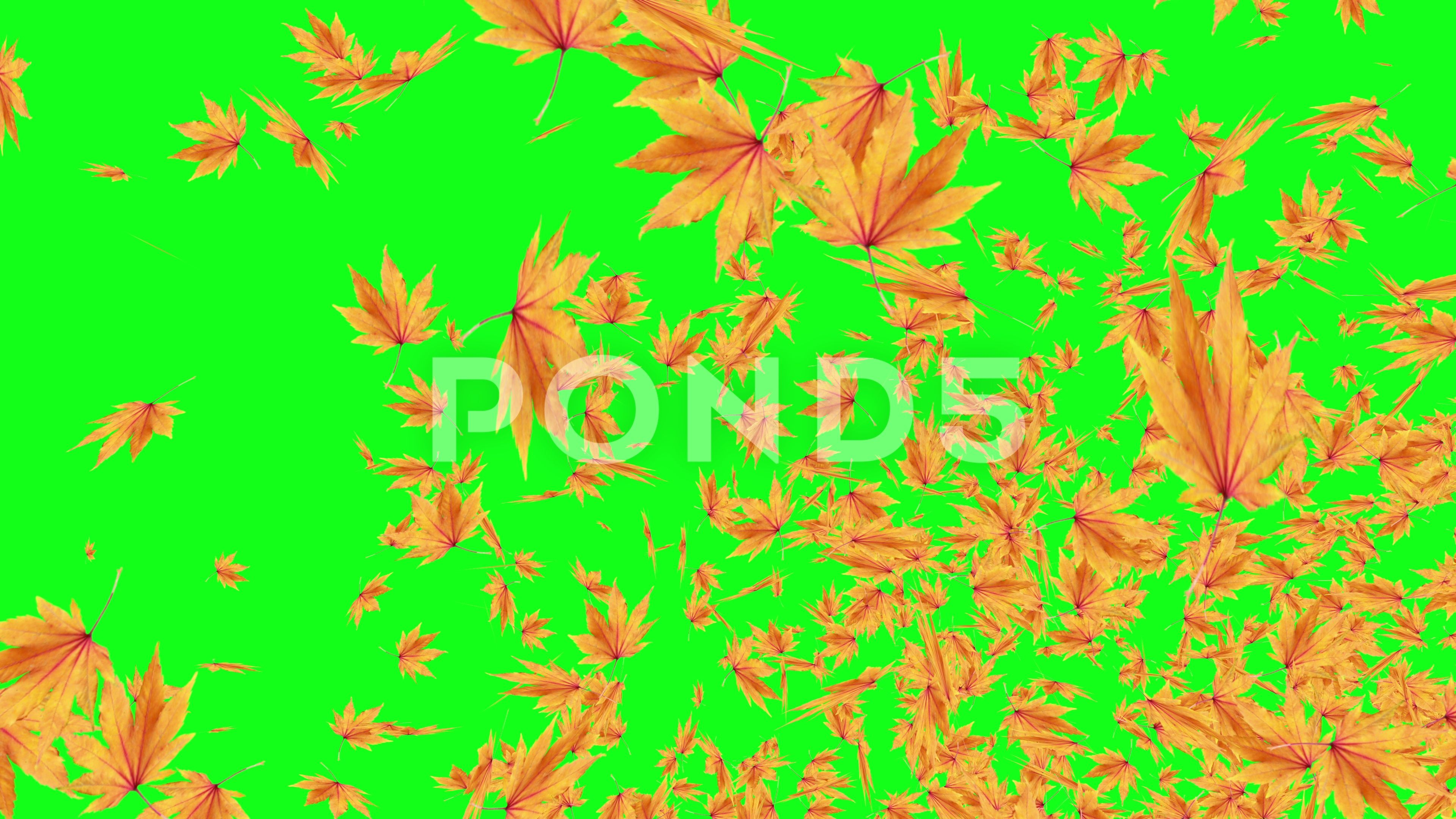 Explosive Autumn Falling Leaves Green Screen Chroma Key Editable Background Stock Footage Ad Leaves Green Screen Expl Greenscreen Chroma Key Autumn Leaves