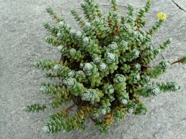 Sedum Oaxacanum Plantes Grasses Cactees Jardinage