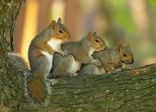 Siblings by Robert Ganz ~ Squirrel stack :)