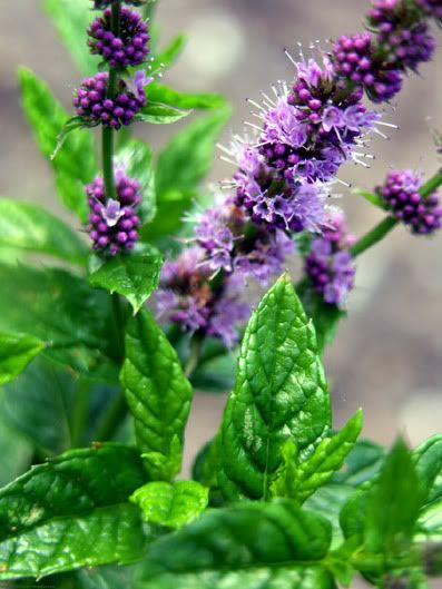 Mint Comes In A Variety Of Colors Sizes Fragrances And Appearances But When It Produces A Flower Bees Are There Bienen Www Apidaecandles Blumen Bienen