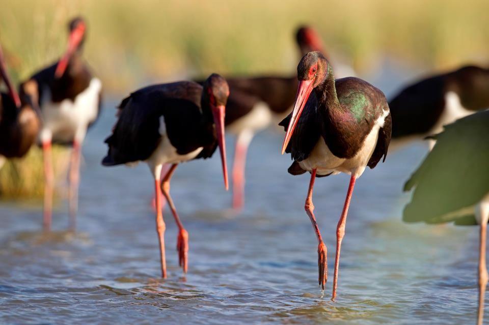Agamon Hula, Israel - black stork - Photo: Thomas Krumenacker https://www.facebook.com/AgamonKKL/photos_stream