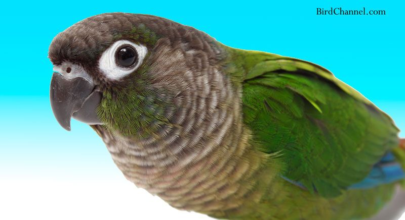 The green-cheeked conure might be small, but it has a big