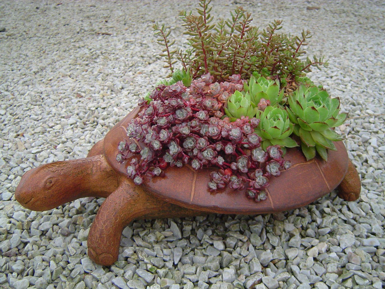 turtle succulents