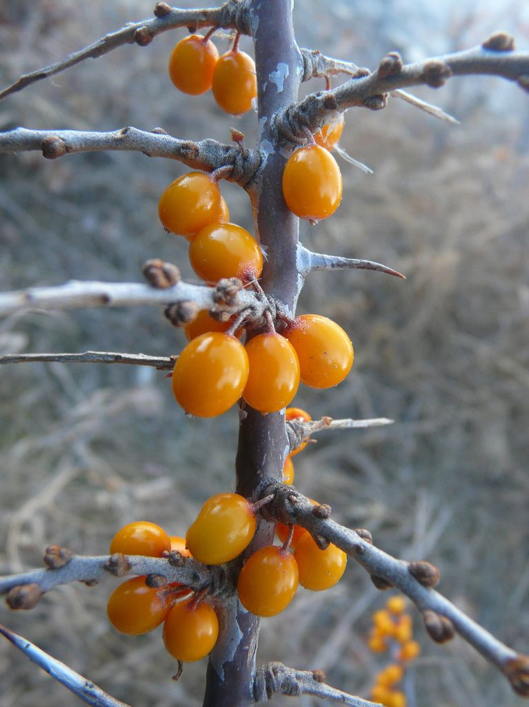 Sea Buckthorn Hippophae Rhamnoides Edible Plants Trees To Plant Seed Pods