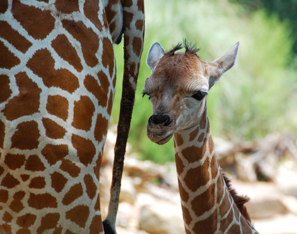 Giraffes   8 of the biggest babies in the animal kingdom   MNN - Mother Nature Network