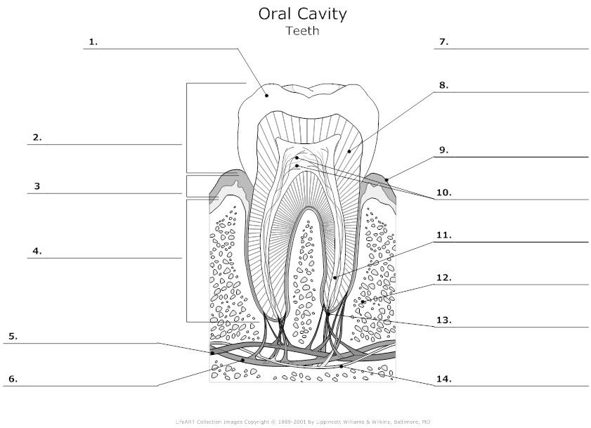 Tooth Anatomy Diagram Unlabeled on Tooth Anatomy Worksheets