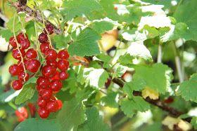 Les jardins partout: Red Lake Currant Bush/Le groseiller rouge Red Lake