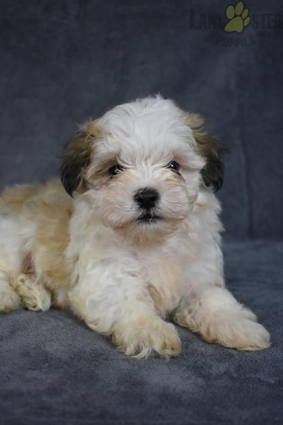 Chester Havanese Puppy for Sale in Fresno, OH