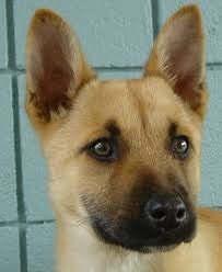 I Now Really Want An All Blonde German Shepard Puppy After Today