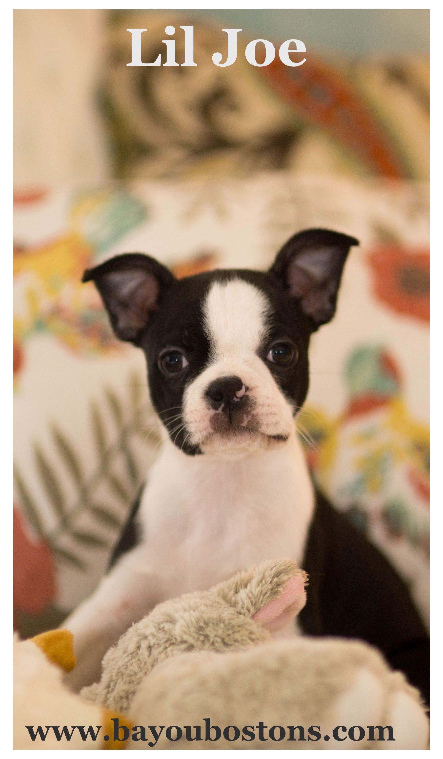 Pin by Rose Graham on Boston terriers Boston terrier