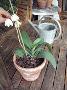 Cómo conseguir una segunda floración de las orquídeas