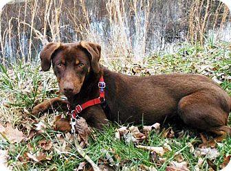 Sugar Adopted Dog Salem Nh Doberman Pinscher Labrador