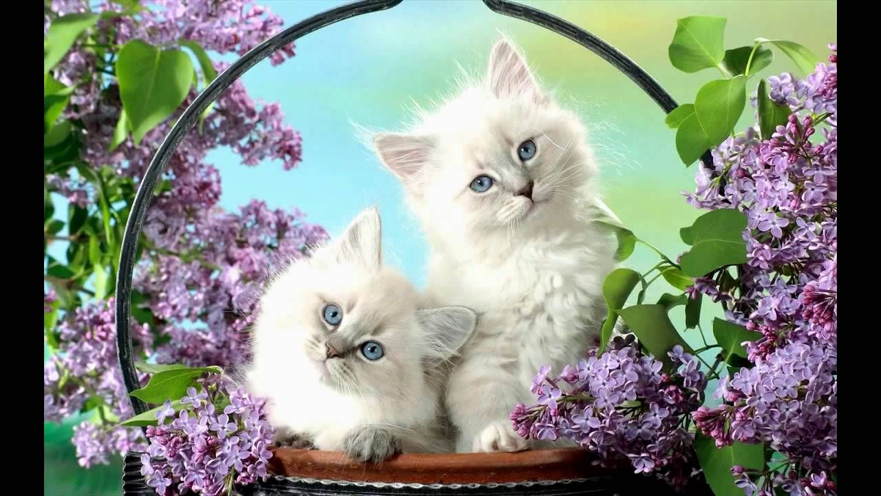 Cutewhitekittenswallpapers cats u kittens pinterest cats