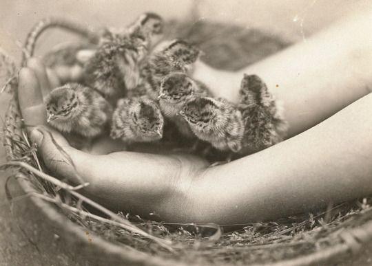 F. Heinich - Rebhuhn (Perdix perdix). Dunenjunge, 1930
