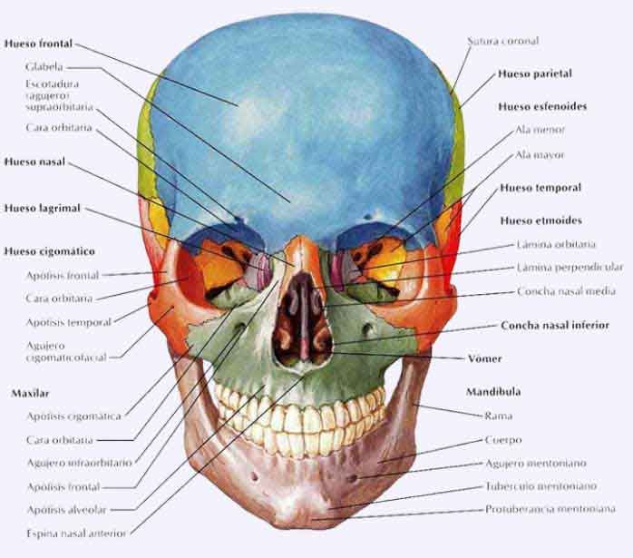 Huesos de la cara | Anatomi | Pinterest | Huesos, La cara y Anatomía