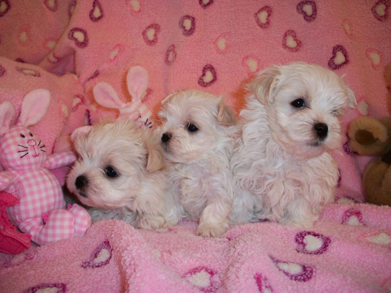Teacup Maltese puppies for sale I Love Maltese Dogs