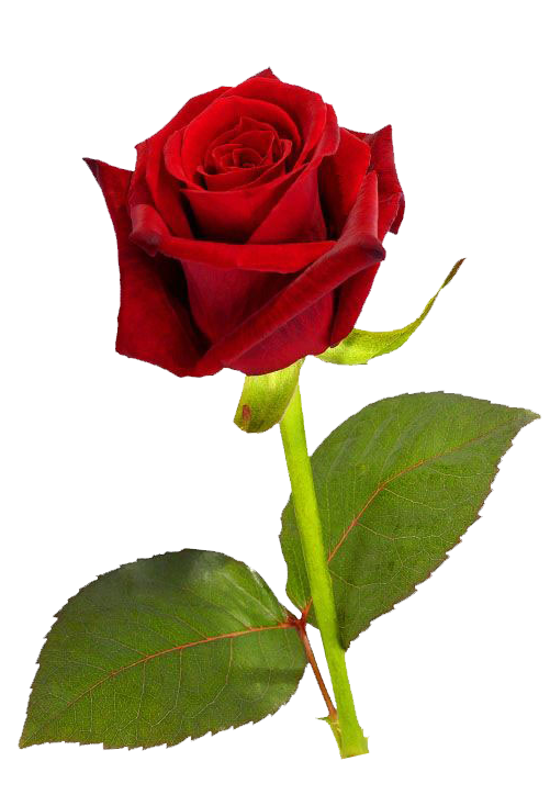Single Red Rose PNG HD Rose flower photos