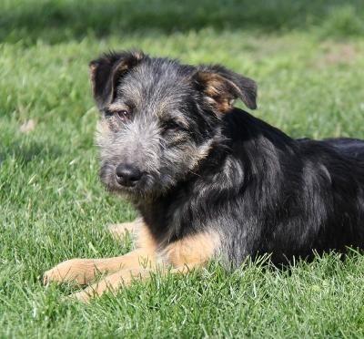 Adopt Alaska A1 Litter On Animal Rescue Labrador Retriever