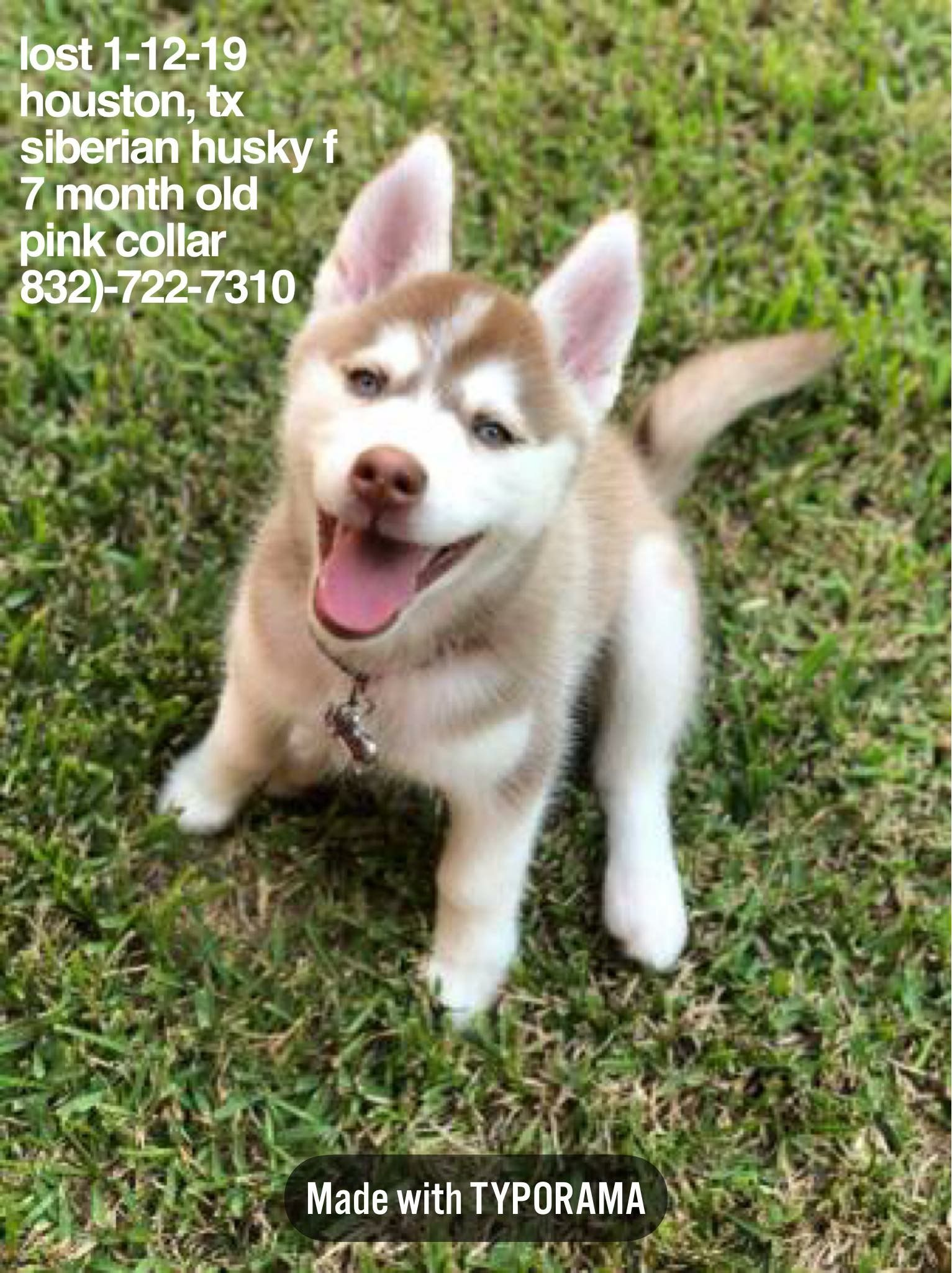Lost 1 12 19 Houston Tx Siberianhusky 7 Month Old Female Pink