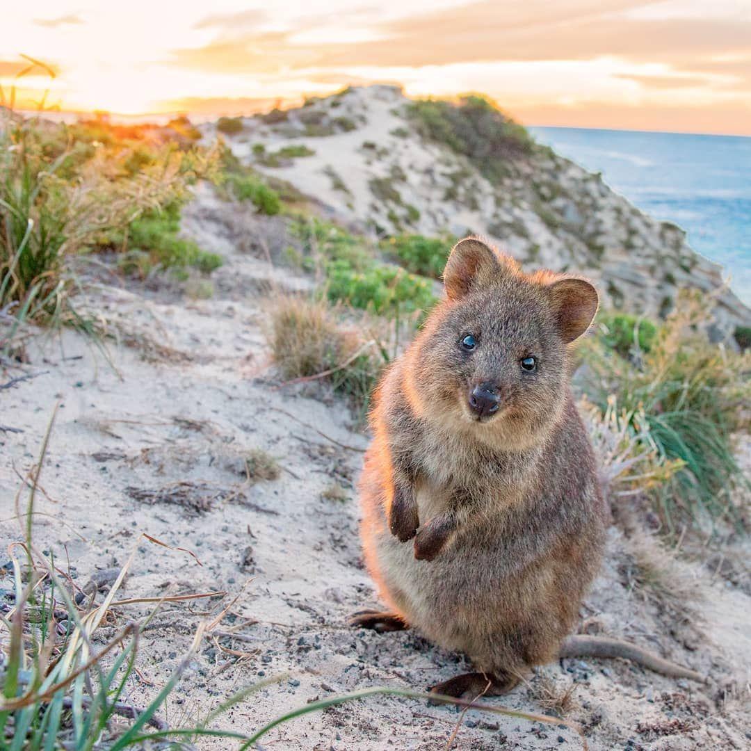 Australia on Twitter in 2020 Quokka, Cute animals, Animals