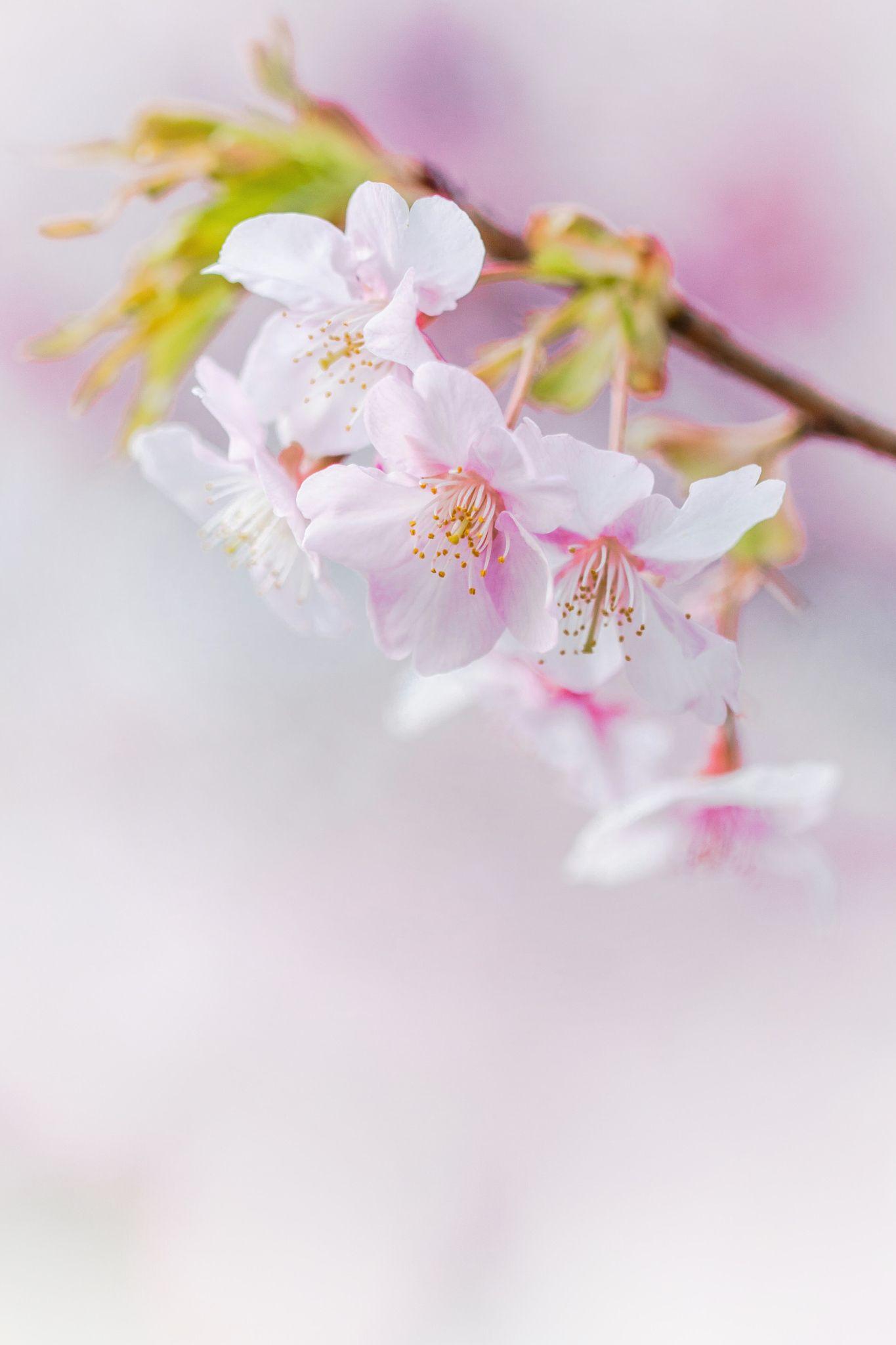Cherry Blossom  Taken At Berrick Hall In Yokohama, Japan