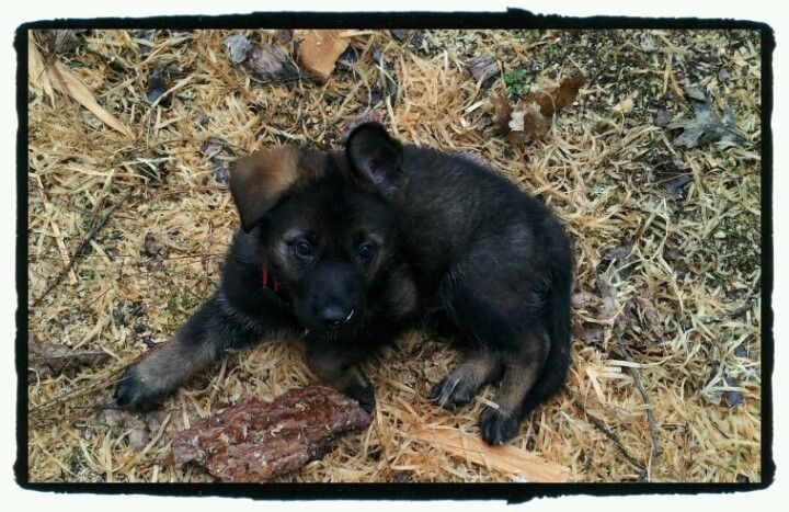 28 Of The Cutest German Shepherd Pups You Ll Ever Meet Bowwow